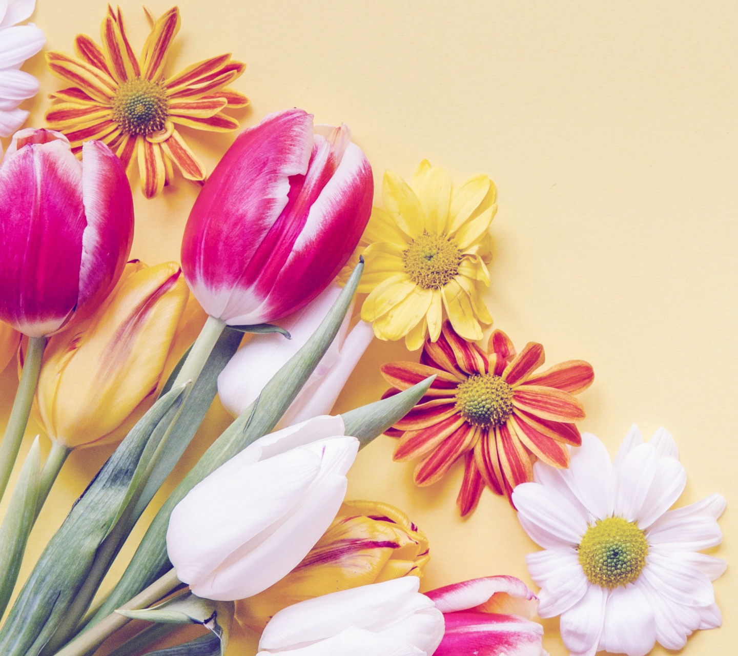 Fondo de pantalla Spring tulips on yellow background 1440x1280