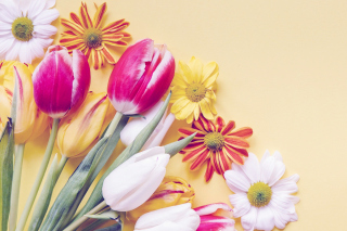 Spring tulips on yellow background sfondi gratuiti per cellulari Android, iPhone, iPad e desktop