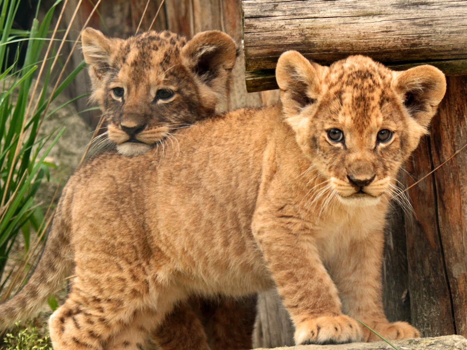 Sfondi Young lion cubs 1600x1200