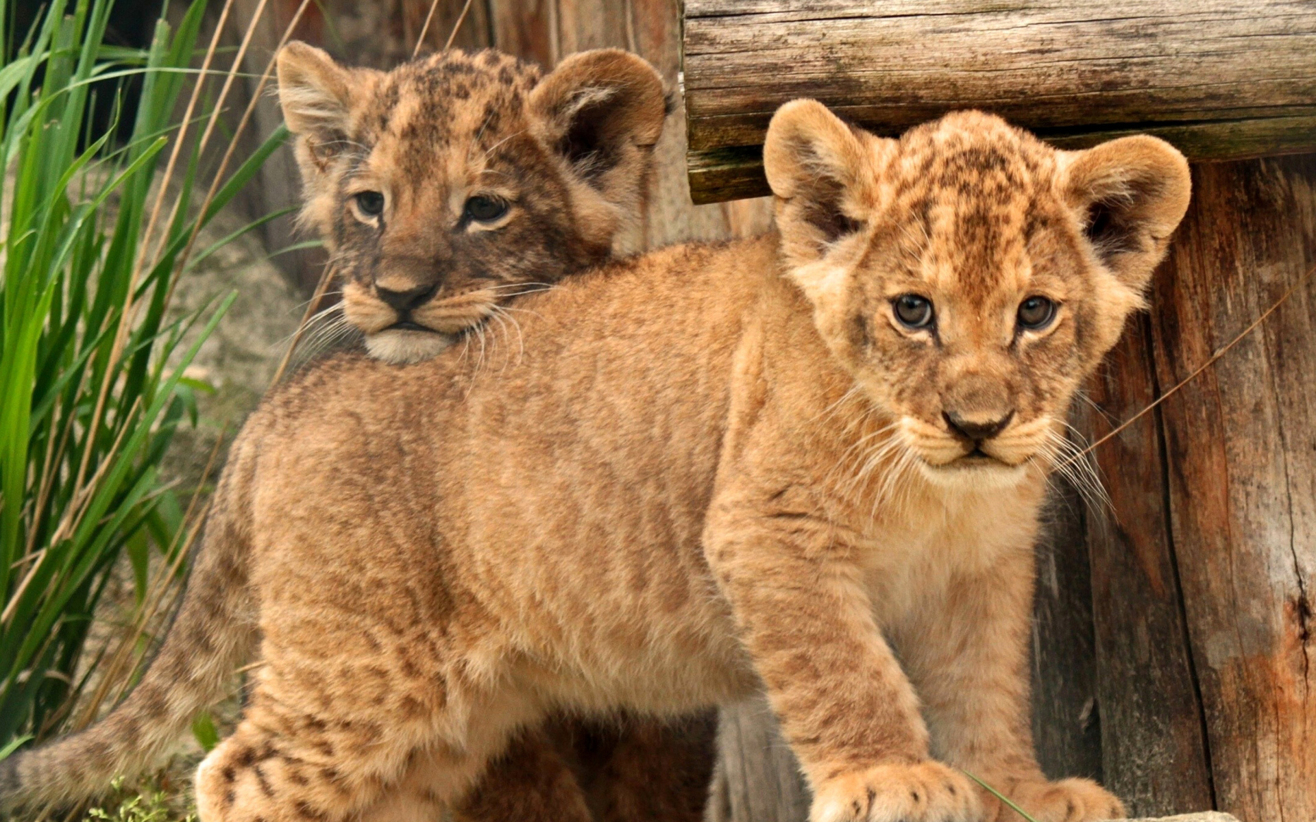 Screenshot №1 pro téma Young lion cubs 1920x1200