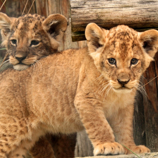 Young lion cubs sfondi gratuiti per iPad mini