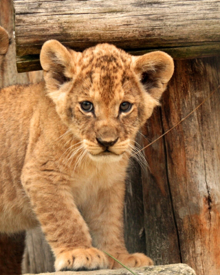 Free Young lion cubs Picture for Nokia Asha 306