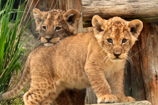 Young lion cubs Background for Android, iPhone and iPad