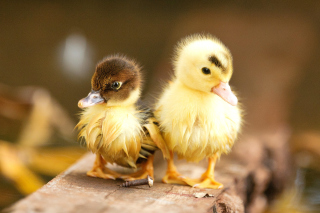 Free Ducklings Picture for Android, iPhone and iPad