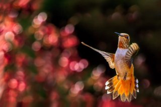 Hummingbird In Flight Picture for Android, iPhone and iPad