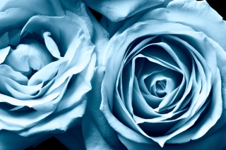 Blue Rose Wallpaper for Android, iPhone and iPad