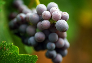 Purple Grapes Macro Background for Android, iPhone and iPad