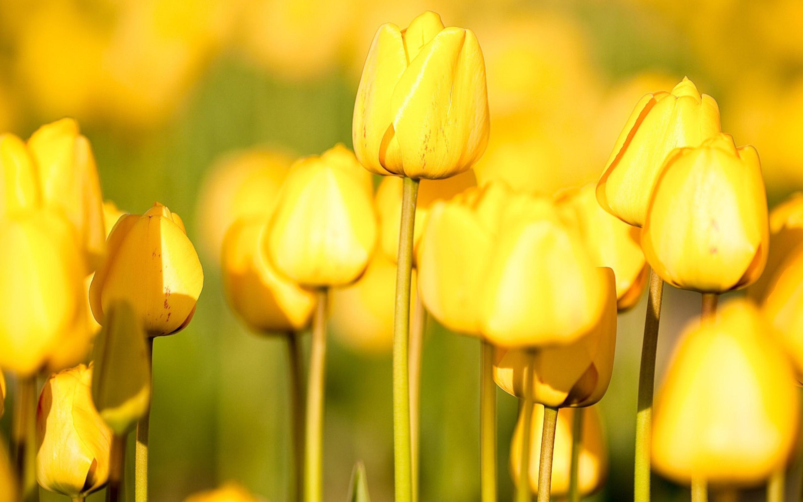 поляна из желтых тюльпанов загрузить