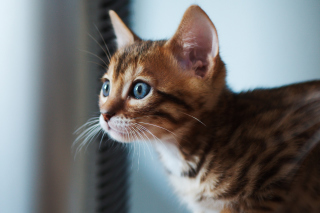 Ginger Kitten With Blue Eyes Picture for Android, iPhone and iPad