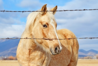 Free Golden Horse Picture for Android, iPhone and iPad