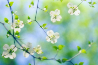 White Dogwood Blossoms Wallpaper for Android, iPhone and iPad