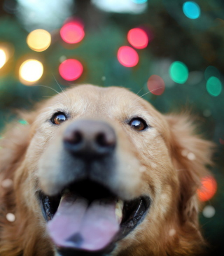 Kostenloses Happy Golden Retriever Wallpaper für Nokia C6