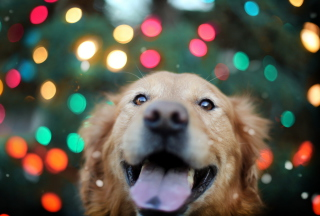 Happy Golden Retriever Background for Android, iPhone and iPad