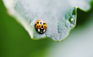 Orange Ladybug Picture for Android, iPhone and iPad