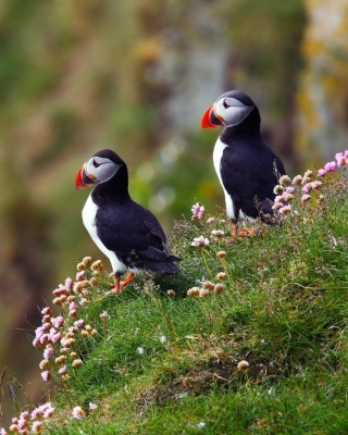 Birds Atlantic Puffins in Iceland Background for Nokia Asha 306