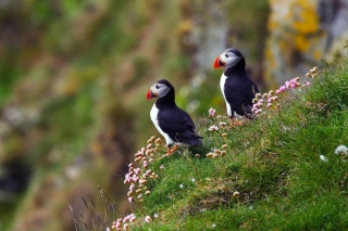 Birds Atlantic Puffins in Iceland Background for Android, iPhone and iPad