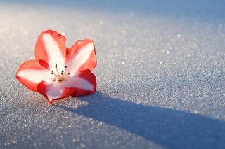 Azalea Snow Flower Background for Android, iPhone and iPad