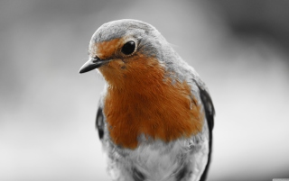 Robin Redbreast Wallpaper for Android, iPhone and iPad