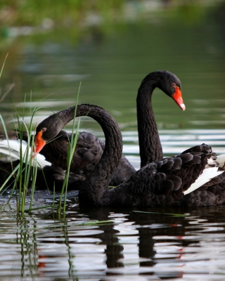 Black Swans on Pond sfondi gratuiti per iPhone 4S