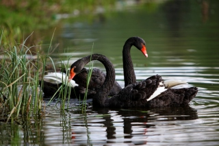 Black Swans on Pond Background for Android, iPhone and iPad