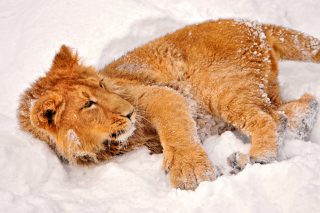 Lion In Snow sfondi gratuiti per cellulari Android, iPhone, iPad e desktop