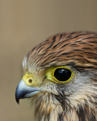 Free Kestrel Bird Picture for 128x160