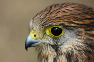 Free Kestrel Bird Picture for Nokia XL