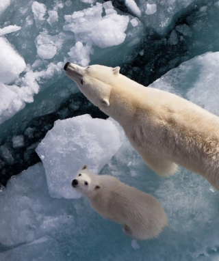 Polar Bears Picture for iPhone 6 Plus