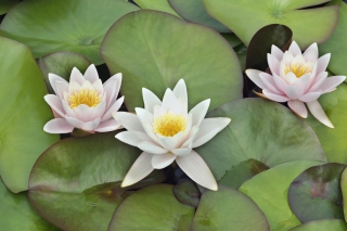 Water Lilies Background for Android, iPhone and iPad