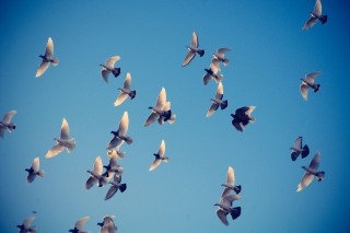 Pigeons Family Background for Android, iPhone and iPad