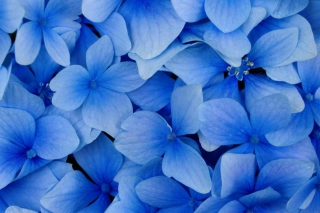 Blue Flowers Picture for Android, iPhone and iPad