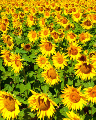 Free Golden Sunflower Field Picture for Nokia C1-01