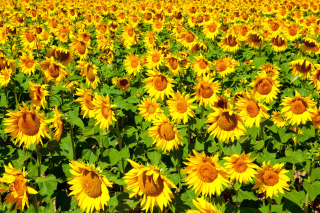 Golden Sunflower Field Background for Android, iPhone and iPad