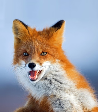 Free Fox Picture for HTC Titan