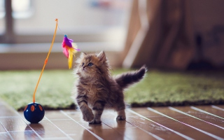 Free Kitten And Feather Picture for Android, iPhone and iPad
