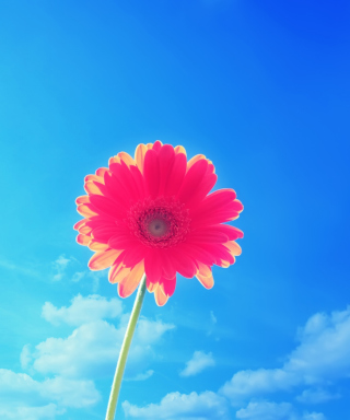 Gerbera In Sky Wallpaper for Nokia C1-01