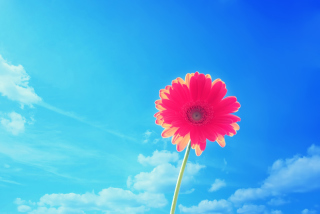 Free Gerbera In Sky Picture for Android, iPhone and iPad