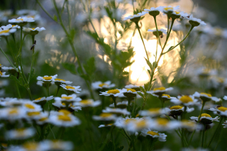 Chamomile Macro Photo Wallpaper for Android, iPhone and iPad