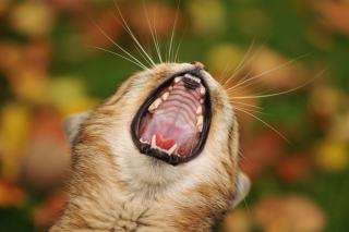Cute Yawning Kitten Background for Android, iPhone and iPad