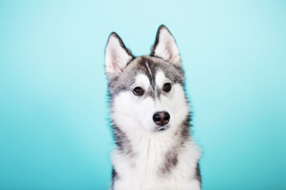 Husky Dog Background for Android, iPhone and iPad