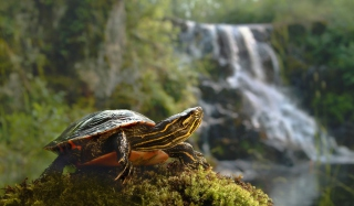 Wild Turtle Wallpaper for Android, iPhone and iPad