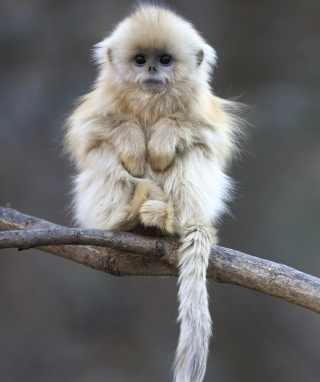 White Monkey Background for 240x320