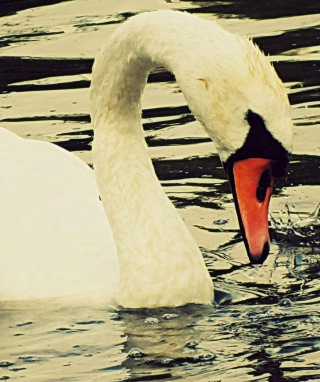 White Swan Background for HTC Titan