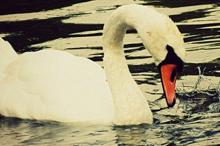 White Swan Background for Android, iPhone and iPad