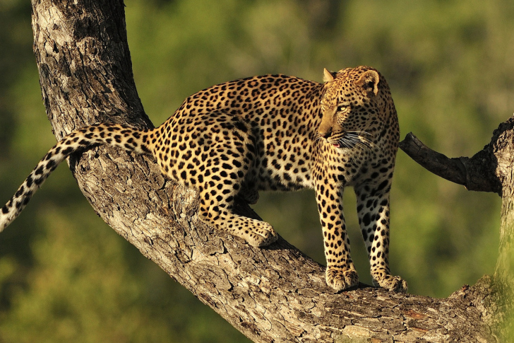 Kruger National Park with Leopard wallpaper