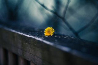 Little Yellow Dandelion Picture for Android, iPhone and iPad
