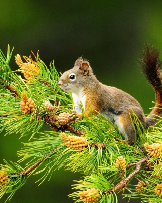Squirrel And Cones Background for Nokia C1-01