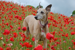 Free Dog In Poppy Field Picture for Android, iPhone and iPad
