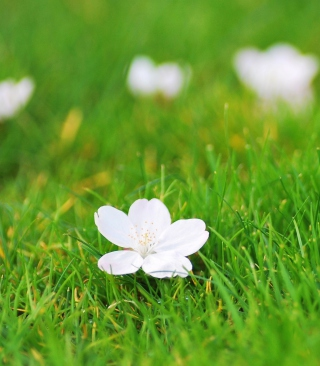 White Flower On Green Grass Picture for 240x320