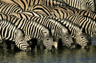 Zebras Drinking Water Background for 1280x1024